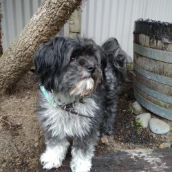 TOBY – ON ADOPTION TRIAL